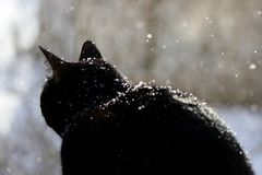 A black cat looks with surprise at falling snowflakes during a snowfall. A black cat looks with surprise at falling snowflakes during a snowfall royalty free stock photo