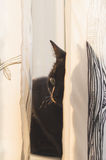 Black cat lying behind curtains Stock Photo