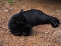 Thai black cat Royalty Free Stock Photos
