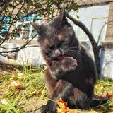 Black cat 4. Lying in a black cat gazing, it is very domineering eyes stock photo