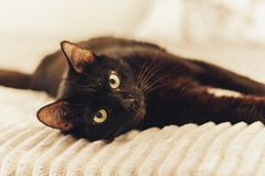 Black cat lying on the gray fur cover on bed stock image
