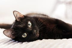 Black cat lying on the gray fur cover on bed royalty free stock photography