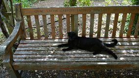 Black Cat lying on a park bench in Windsor Berkshire. Black cat lying in the sun on a wooden park bench with latin words on  in Eton near Windsor Berkshire UK Stock Image