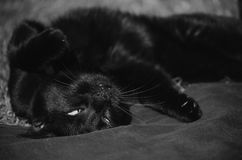 Black cat lying upside down. On a blanket Royalty Free Stock Photos