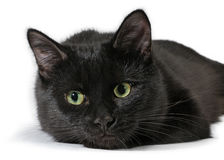 Black cat lying on a white background, looking at camera Stock Photography