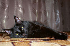 Black cat Maine Coon Royalty Free Stock Photography