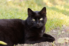 Black cat on the meadow Royalty Free Stock Photo