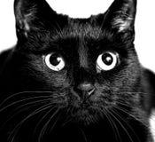 Black cat monochrome photo close up portrait Stock Images