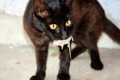 Black cat and mouse. In a hunter - prey relation Stock Image