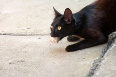 Black cat and mouse. In a hunter - prey relation Stock Photo