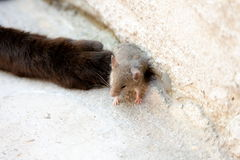 Black cat and mouse in a hunter - prey relation Royalty Free Stock Image