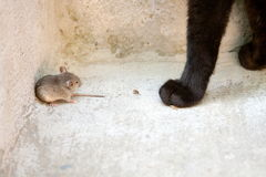 Black cat and mouse in a hunter - prey relation Royalty Free Stock Photos