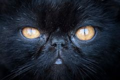Black cat muzzle. With yellow eyes. Close-up Stock Photos