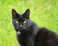 Black cat in nature Royalty Free Stock Image
