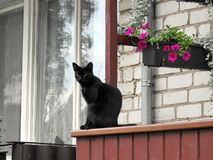 Black cat near home window, Lithuania. Beautiful black cat near home window and pink flowers royalty free stock image