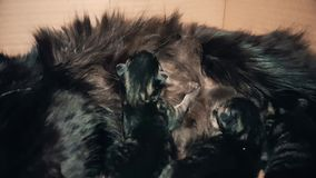 New born baby kittens sucking milk from their mother. Black cat nursing its newly born kittens in a carton box. Little babies trying to suck their mother stock footage