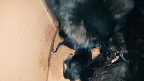 New born baby kittens sucking milk from their mother. Black cat nursing its newly born kittens in a carton box. Little babies trying to suck their mother stock video