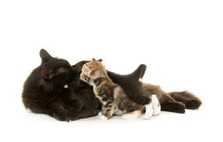 Black cat nursing kittens Stock Photo