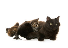 Black cat nursing kittens Stock Image
