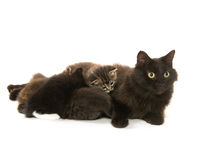 Black cat nursing kittens Royalty Free Stock Photo