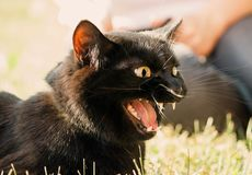 Black cat with an open jaw in the profile lies on the grass in the street. Fangs are visible and tongue, hisses and angered or meows, yellow eyes, emlationally stock photography