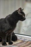 Black cat with orange eyes Royalty Free Stock Images