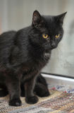 Black cat with orange eyes Royalty Free Stock Photos