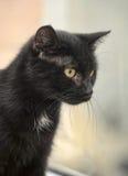Black cat with orange eyes Stock Image