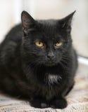 Black cat with orange eyes Royalty Free Stock Image