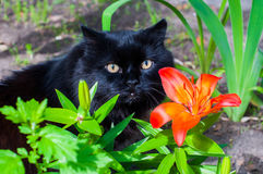 Black cat and orange Lily. Black cat is sitting near orange Lily Stock Photo