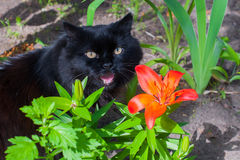 Black cat and orange Lily. Black cat is sitting near orange Lily Royalty Free Stock Image