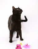 Black cat and orchids Royalty Free Stock Image