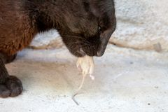 Black cat paw and mouse. In a hunter - prey relation Royalty Free Stock Image