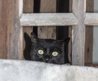 Black cat peeping from a window pane. The head of a black cat suspiciously gazing from a wooden window framework Stock Image