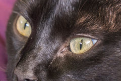 Black cat peering. With nice eyes stock image