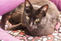 Black cat peering Stock Image