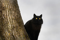Black cat perched in tree. A black cat perched in a tall tree.  concept of safety and fear Stock Photography