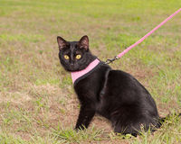 Black cat in pink harness Stock Images