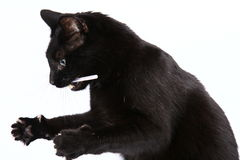 Black cat playing Stock Images