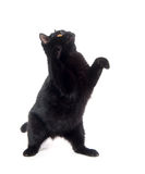 Black cat playing Royalty Free Stock Photography