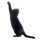 Black cat playing Stock Image