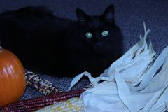 Black cat playing with fall, autumn decorations of sugar pumpkin and indian corn royalty free stock photography