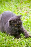 Black Cat Playing on the grass Royalty Free Stock Photo