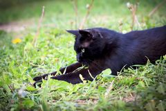 A black cat is playing in the grass. Shallow depth of cut stock image