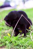 A black cat is playing in the grass. Shallow depth of cut royalty free stock images
