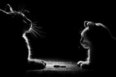 Black cat is playing with wedding ring. Black cat and white cat looking at wedding rings Royalty Free Stock Photography