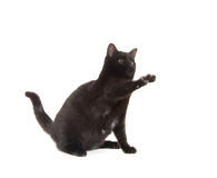 Black cat playing on white Stock Images
