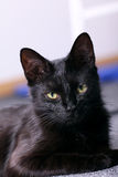 Black cat, portrait Royalty Free Stock Photos