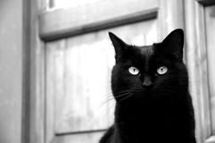 Black cat portrait. Black and white portrait of a black cat looking into the camera Stock Photos
