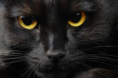 Black cat. Portrait of a black cat Stock Photography